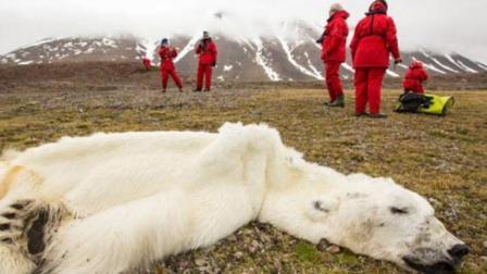 给快要饿死的北极熊喂点吃的是犯法的? 背后的原因让人泪目!