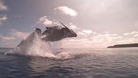 南太平洋小座头鲸冲出海面腾空飞跃令人惊叹
