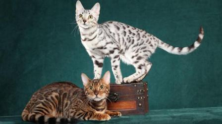 盘点世界上最贵的猫! 猫中土豪身价! 养不起养不