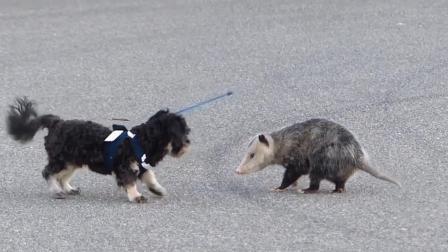 负鼠公园散步偶遇狗狗, 这场面也太逗了