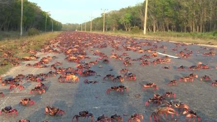 古巴遭遇螃蟹泛滥, 想寻求吃货帮助, 中国吃货表示这个我们不敢吃