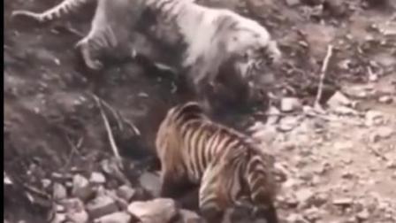 【老虎】一山不容二虎, 白虎真霸气