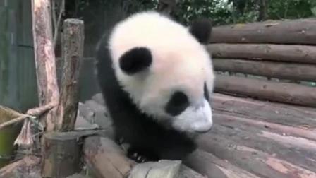 大熊猫小宝宝, 18级的小可爱们的活动场, 当熊猫