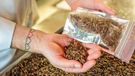 """英国推出""""蟋蟀""""零食, 烧烤味的蟋蟀营养可口"""