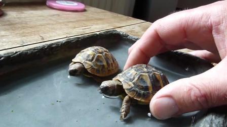 两只萌萌小乌龟戏水, 好不情愿的样子