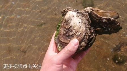 赶海篇: 去海边赶海捉海鲜, 却只捡了一桶海螺壳、贝壳, 原因很无奈
