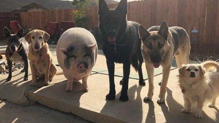 一只猪和五只狗幸福的生活, 过着过着猪兄被带偏
