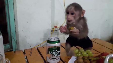 猴子和主人一起吃火锅, 坐在桌上吃水果, 吃饱了就开始闹腾!