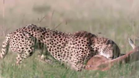猎豹悄悄靠近, 突然出手羚羊瞬间被制服, 镜头拍下全过程