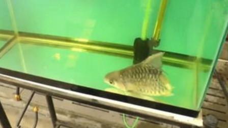 这条鱼只剩下头, 却奇迹般的生活了很久, 还能继续游泳!