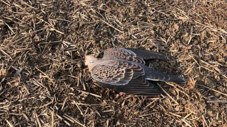 农村小伙田边发现两只奄奄一息的鸟类, 一动不动的看着让人心酸