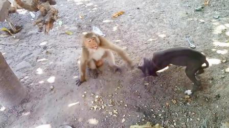 狗狗正吃着饭, 猴子把饭碗给抢了过来, 镜头拍下全过程
