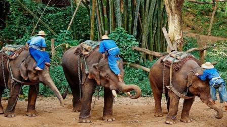 为什么都说去泰国旅游一定不要骑大象? 内行人说出实话