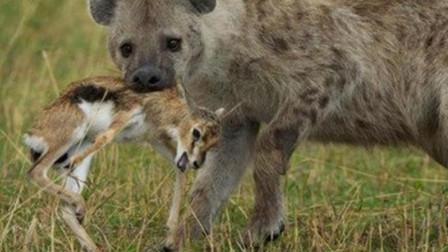 鬣狗抓住小羚羊为护幼崽羚羊夫妇大战鬣狗