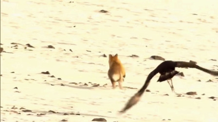 狐狸外出觅食遭老鹰捕杀, 它用一招, 结果逃出鹰爪!