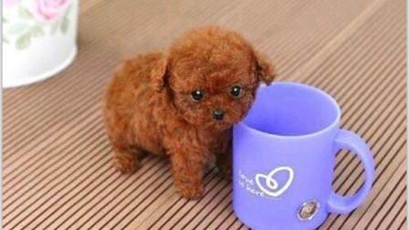 价格昂贵的茶杯犬, 是怎么诞生的呢? 答案让人有点心酸