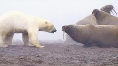 北极熊被海象吓得直后退! 白熊: 这次带着孩子先放过你一次