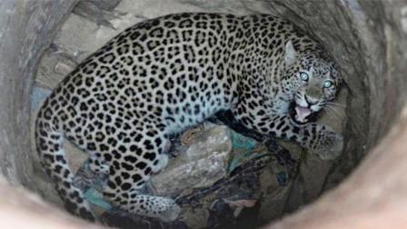 豹子不慎掉入深井, 一脸生无可恋, 印度人将它救出!