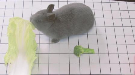 小兔子到底爱吃萝卜还是菜, 我们做了一个并不专业的专业测试