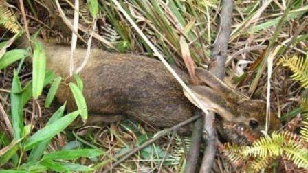 荒野求生: 小哥山里捕猎, 抓到只8斤重的大野兔, 终于可以吃肉了【720P】