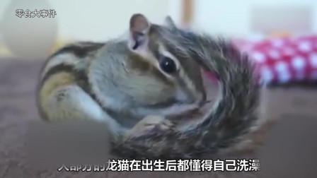 为什么说龙猫是最喜欢干净的动物? 看完想养一只