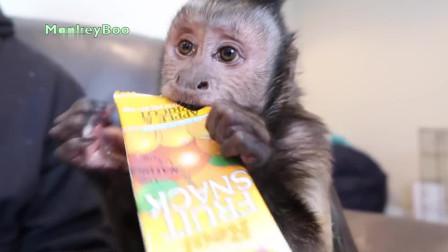 """实拍: """"吃货""""小猴眼中只有吃的, 注意它的表情!"""