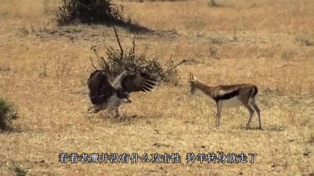 老鹰猎杀羚羊, 其手段出乎意料, 随后意外发生了, 网友: 太狠了!