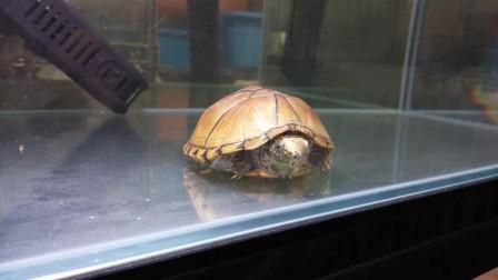极品虎纹蛋龟、虎纹麝香龟欣赏, 裸缸布置水很干净「龟谷鳖老」