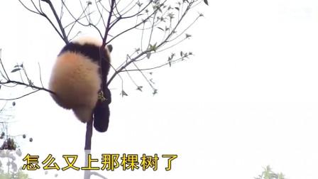 这下就尴尬了! 树顶上的那个熊猫, 你上的去还下的来吗
