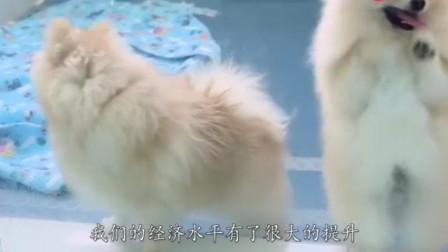 全世界最漂亮的狗, 配种一次要花14万, 网友: 为啥不去抢?