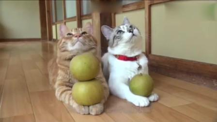主人为了测试猫咪的定力, 把梨子放在猫咪手上, 结局很无奈啊!