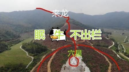 自然与风水带你去阳江市阳西县看看陈氏开族风水宝地: 眠牛不出栏