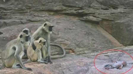 动物也有真情! 猴子误以为自己杀害了仿真猴, 猴群整体前来默哀