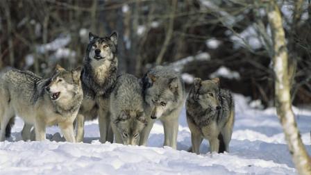 """如果狗真是狼驯化的, 为什么狼是""""白眼狼"""", 狗却很忠诚?"""