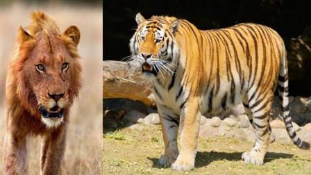 一头雌狮引发的战斗, 雄狮暴揍雄虎!