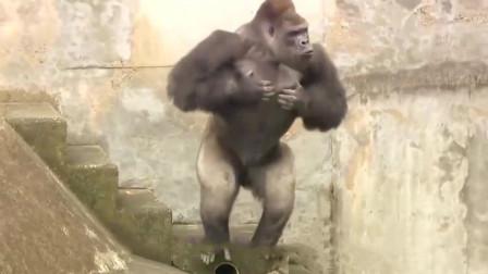 不要轻易向大猩猩学捶胸, 如果激怒了它, 可有你苦果子吃了