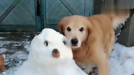 主人说雪人比金毛漂亮, 它竟还吃醋了, 下一秒都忍住别笑