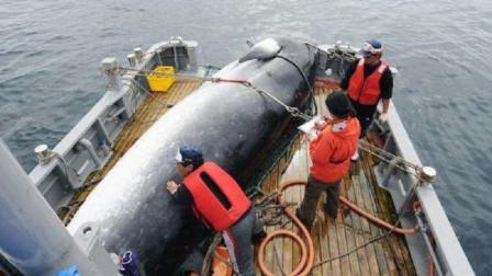 为什么日本人宁愿补贴80亿, 也要捕杀是全球保护动物的鲸鱼?