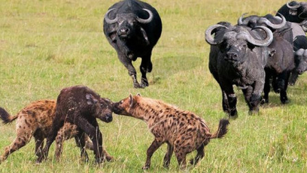 鬣狗群想要捕食小野牛, 结果遭到母牛誓死守护, 无奈只能放弃!