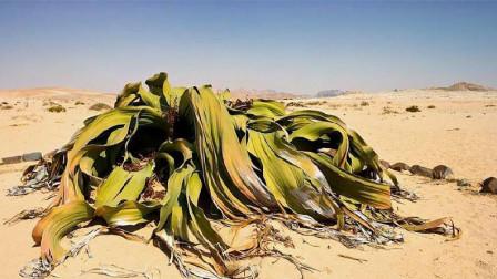 世界上最长寿的植物, 和乌龟有的一拼, 网友: 吃了它会怎样?