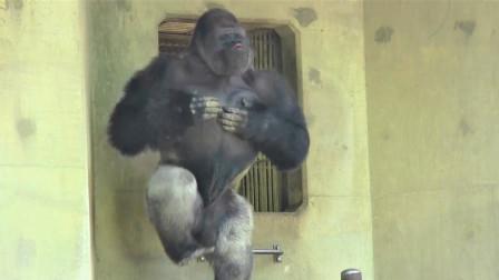 动物园的一只大猩猩吸引众人围观, 这动作也太搞笑了