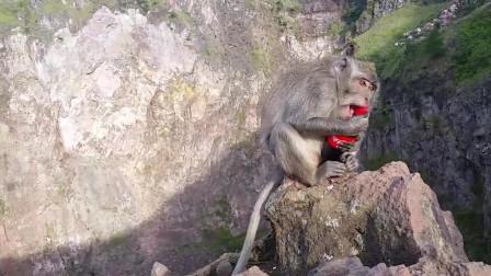 猴子抢走游客的可乐, 跑到一边仰头就喝, 接下来悲剧了