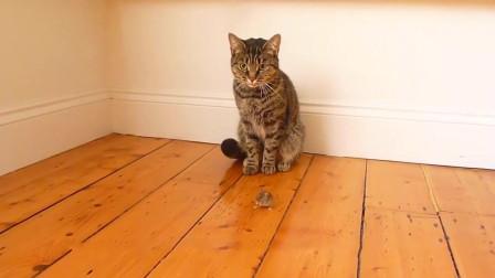 猫咪捉到老鼠后, 不仅没有咬死还开始把玩, 老鼠: 给个痛快!