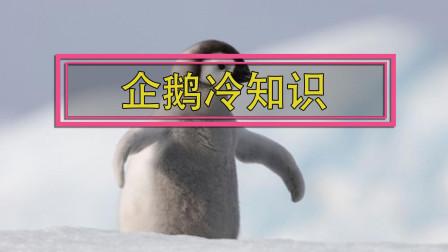 唯一一种会游泳但不会飞的鸟 揭秘企鹅不为人知的一面 这样的企鹅你绝对不知道