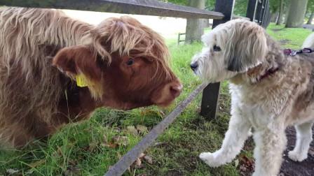 从小和狗狗一起长大的牛, 以为自己是条狗, 活成了狗样!