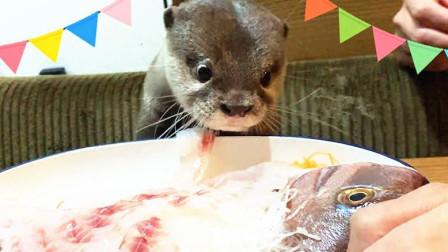 小水獭饿半天了, 主人送上一条鱼给它, 没想到它反映太萌了!