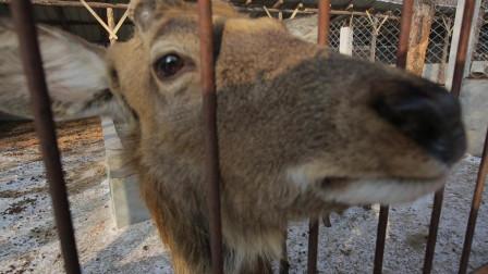 游览延边州! 探访这位满族老汉是如何饲养大群梅花鹿的?