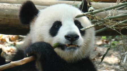 """因竹子太硬, 大熊猫""""团团""""被硌断一颗牙, 成全球首只戴假牙的大熊猫!"""