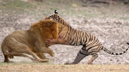 狮子和老虎发生冲突, 究竟谁能更胜一筹? 镜头拍下全过程!