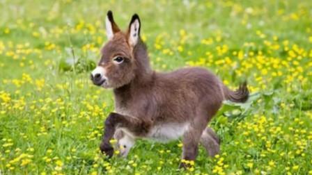 """新宠物""""迷你驴""""风靡澳洲, 体形小智商高, 一只售价上万块"""